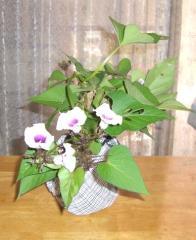 11月(2008) サツマイモの花1