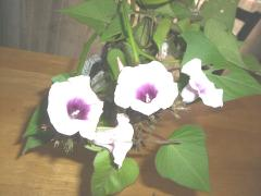11月(2008) サツマイモの花2