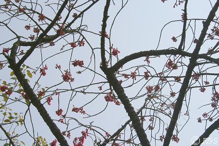 寒緋桜2IMG_8317