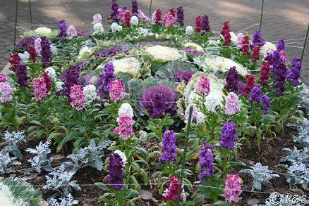 ストックの花壇IMG_8278-1