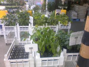 店頭野菜苗