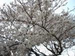 お花見2009③
