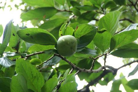 DSC04000柿