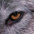 wolf1129.jpg