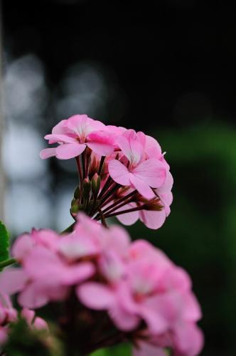 豊洲 紫陽花 (4)