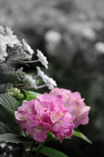 豊洲 紫陽花 (9)