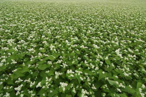 沼田 蕎麦の花とヒマワリ