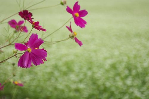 沼田 蕎麦の花とヒマワリ (1)