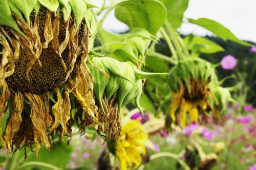 沼田 蕎麦の花とヒマワリ (2)