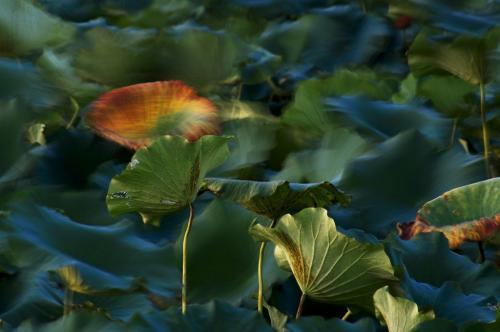 蓮の葉 ブラス