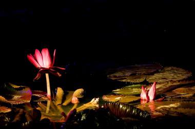 2009 11 07_闇夜のピンク蓮