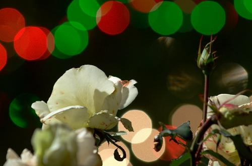 2009 11 07_ 白薔薇 シャボン