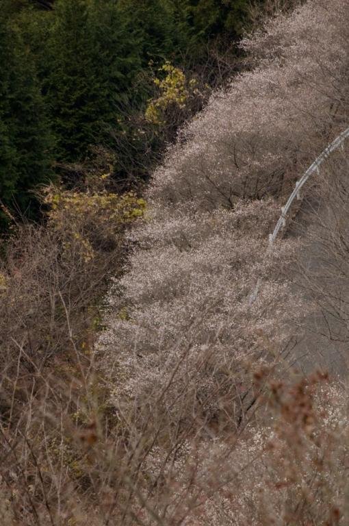 2009 11 29_2009 11 29 鬼石 冬サクラ_0436