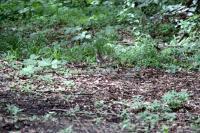 クロツグミ雌