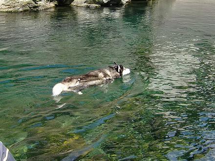 富郷渓谷で泳ぐ北斗