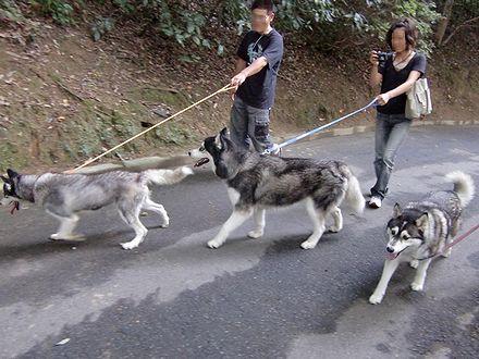 金毘羅裏参道を歩くハスキーズ