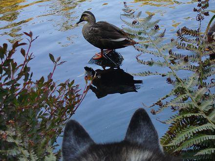鴨を見つめる健太