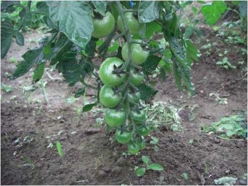 tomato-1.jpg
