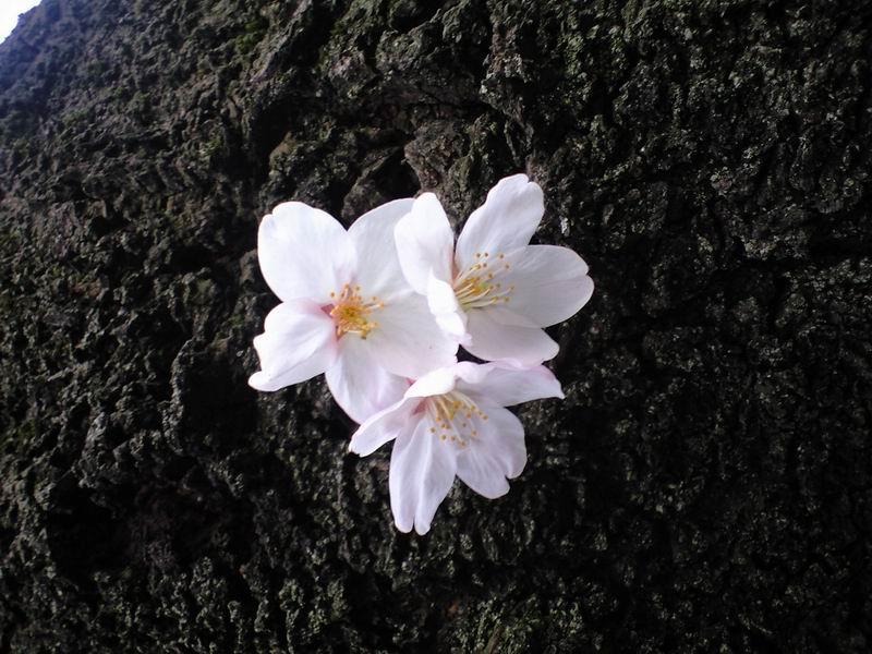 2012 cherry
