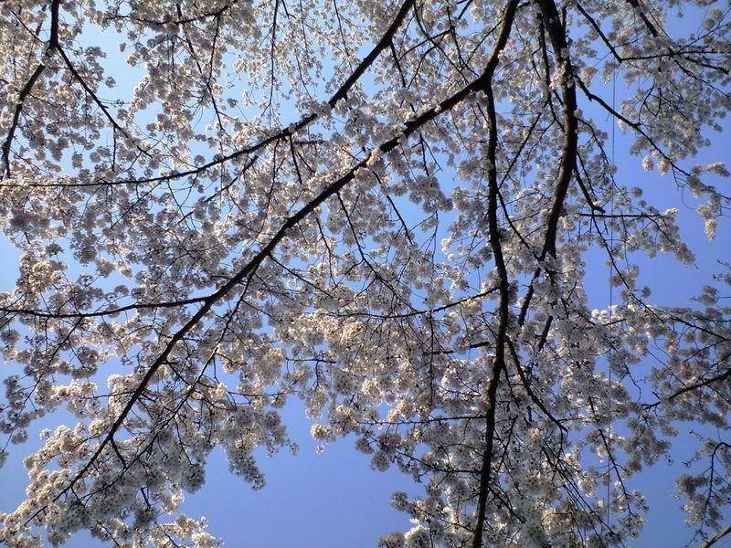 2012 cherry tree
