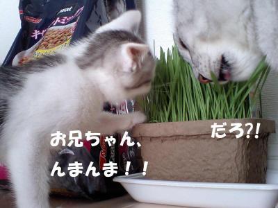 080704猫草食う猫