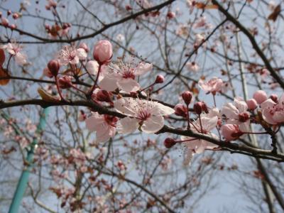 梅の花@イスタンブール