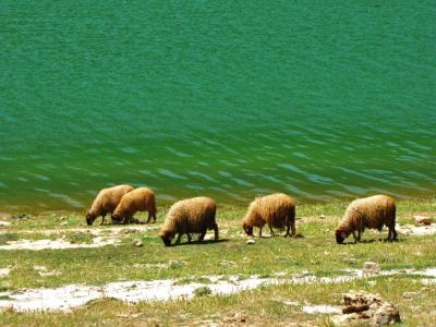 草を食む羊たち@アグィルマム