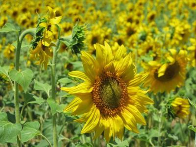 太陽の花畑①@カルモナ