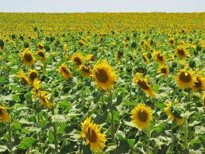 太陽の花畑②@カルモナ
