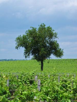 ブドウ畑と孤独な木@サンテミリオン