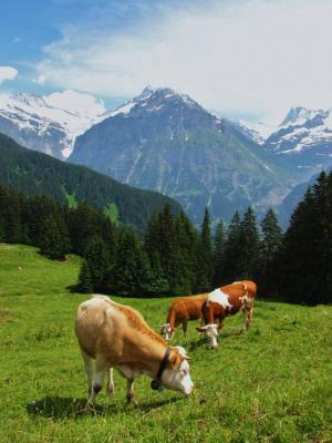 牛のいるアルプス