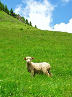羊のいるアルプス①
