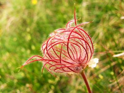 アルプスの花・レッド&ピンク⑪