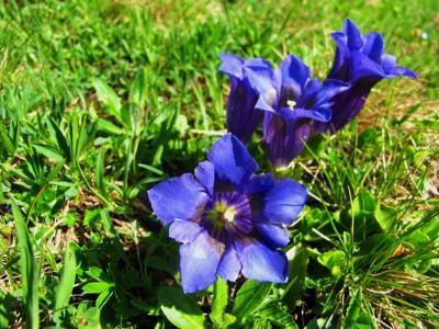 アルプスの花・ブルー&パープル⑦