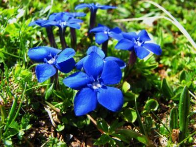 アルプスの花・ブルー&パープル⑧