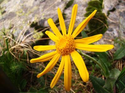 アルプスの花・イエロー⑥