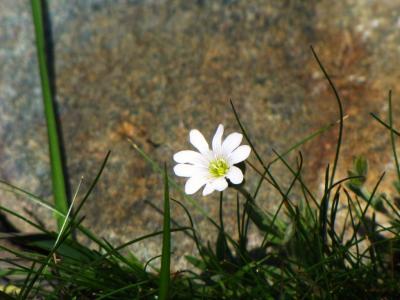 アルプスの花・ホワイト①