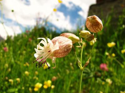 アルプスの花・ホワイト④