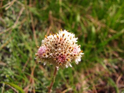 アルプスの花・ホワイト⑤