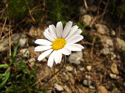 アルプスの花・ホワイト③