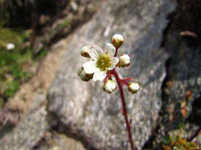 アルプスの花・ホワイト⑥