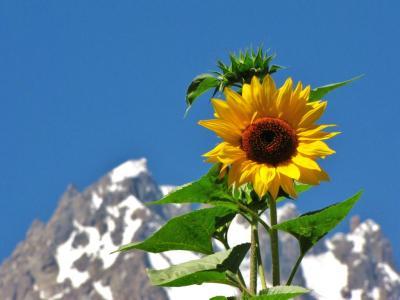 夏の花と万年雪@グルミット