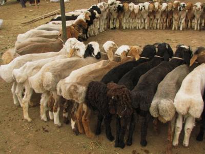 羊サークル@カシュガル