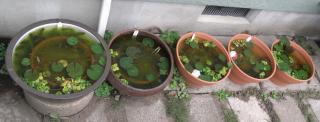 RIMG睡蓮鉢1