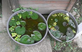 RIMG睡蓮鉢 2