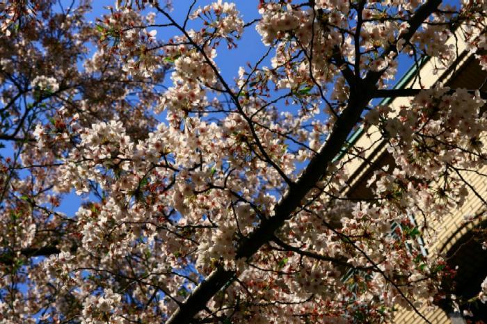 シモキタ桜5