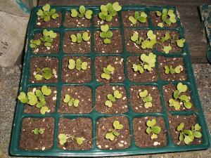 白菜のポット苗