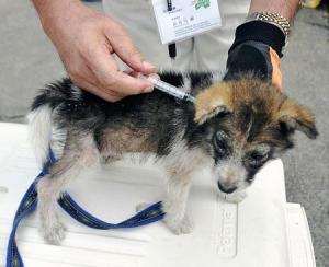 ワクチンの注射を打たれる子犬
