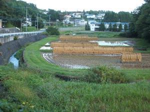 田んぼ、雨で稲が濡れました