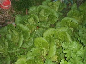 家庭菜園11